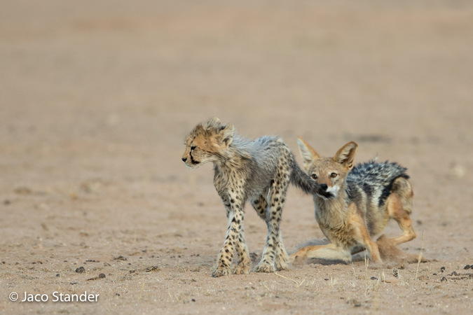 Black-backed jackal with cheetah cub's tail in mouth in Kgalagadi Transfrontier Park, South Africa