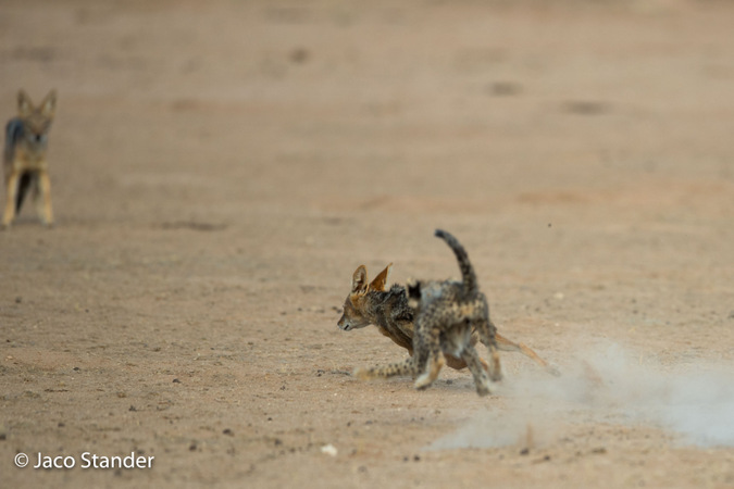 Cheetah cub chasing black-backed jackal in Kgalagadi Transfrontier Park, South Africa