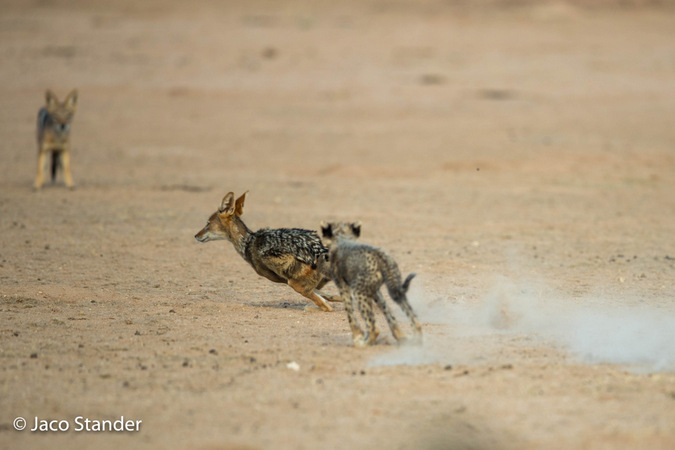 Black-backed jackal running away from cheetah cub in Kgalagadi Transfrontier Park, South Africa