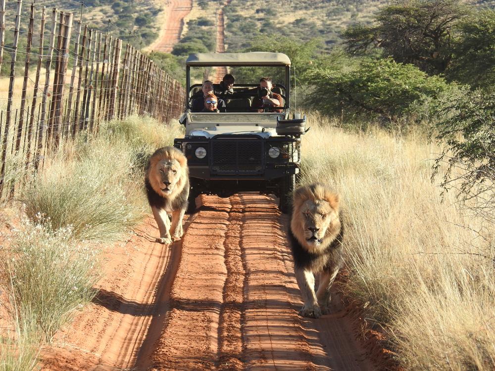 Two black-maned lions walking in the Lekgaba section of Tswalu