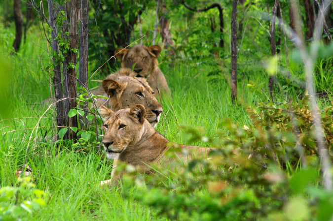Lions in Niassa National Reserve