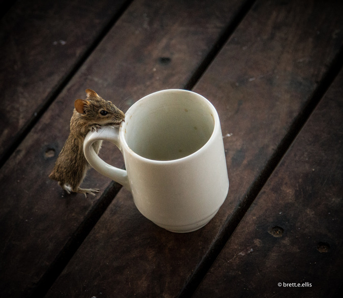 Mouse inspecting coffee mug