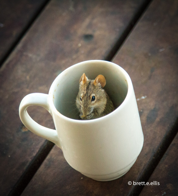 Wild mouse in a coffee mug in Kgaligadi Transfrontier Park in South Africa