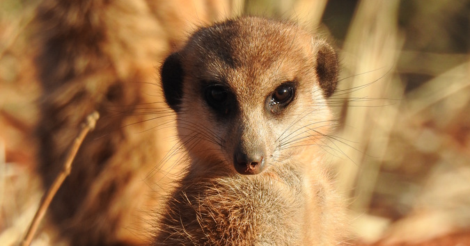 Meerkat in Tswalu Kalahari Private Game Reserve, South Africa