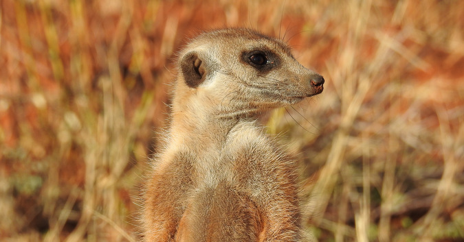 Side profile of a meerkat in Tswalu Kalahari Private Game Reserve, South Africa
