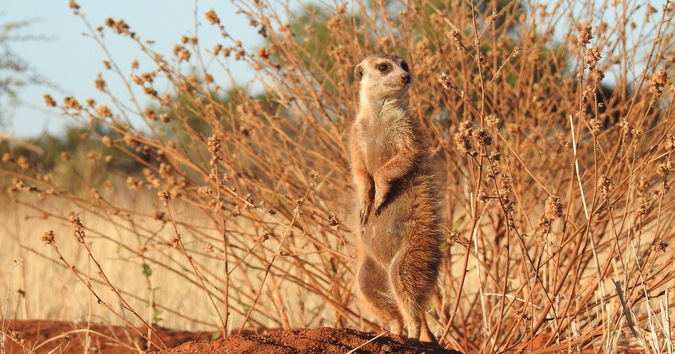 Meerkat keeping an eye out in Tswalu Kalahari Private Game Reserve, South Africa