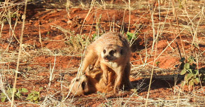 Two meerkats play-fighting in Tswalu Kalahari Private Game Reserve, South Africa