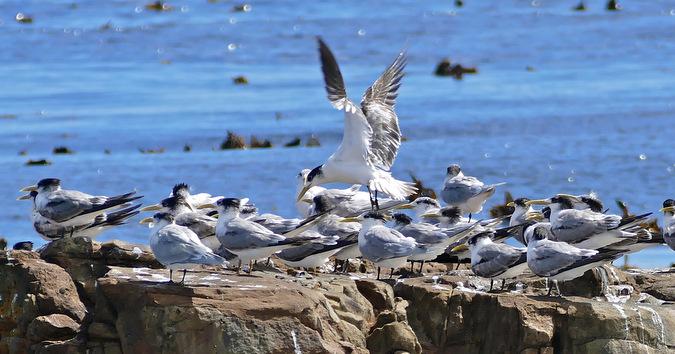 Swift terns on the coast of South Africa, birdlife