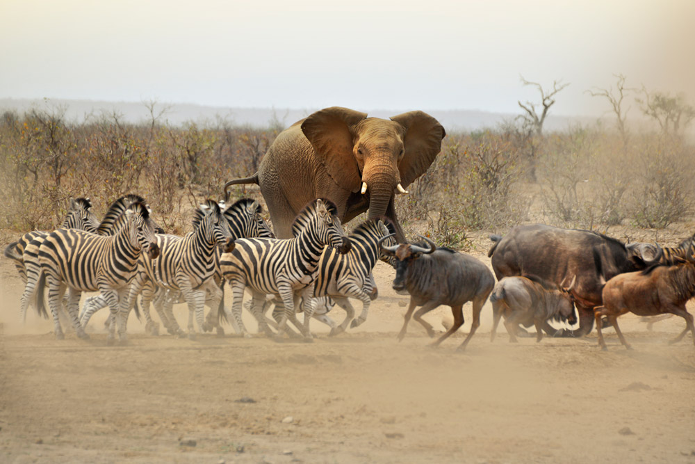 Zebra and buffalo scatter as an elephant approaches waterhole in Kruger National Park, South Africa
