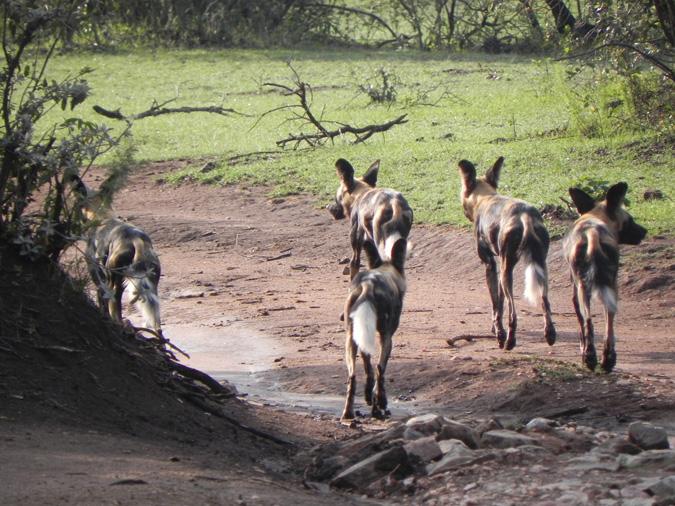 wild dogs at Saruni