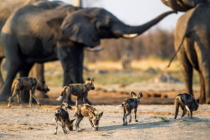 Wild dogs and elephants at waterhole