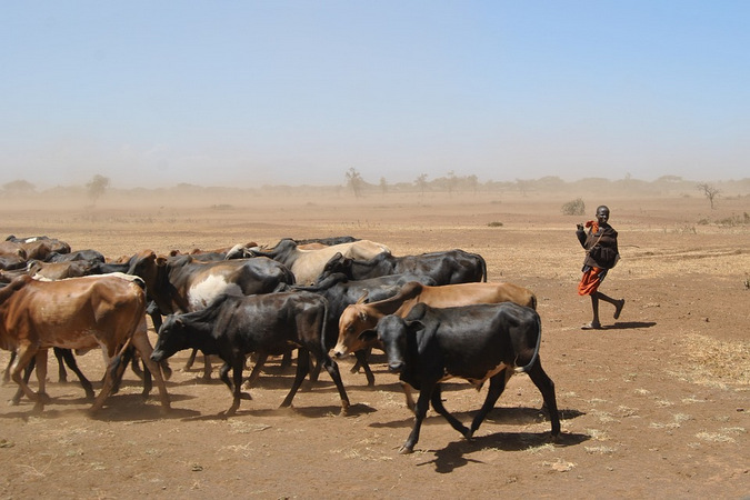 Cattle and herder in a drought-stricken region in Africa