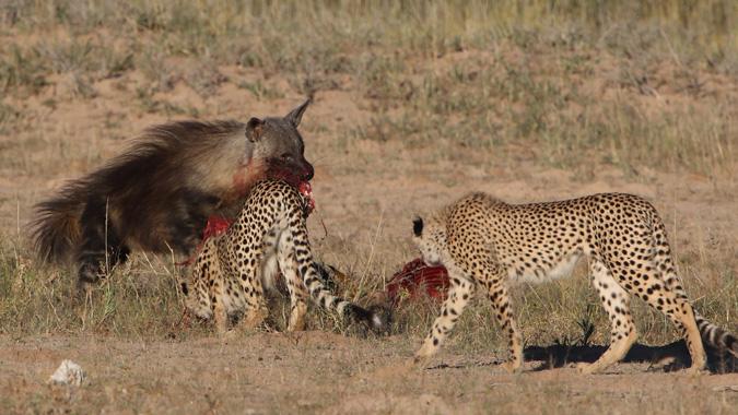 Brown hyena taking kill from cheetahs