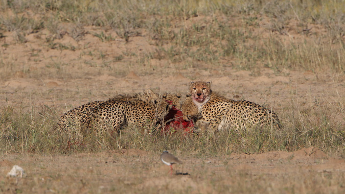 Cheetahs eating springbok kill in Kgalagadi Transfrontier Park in South Africa