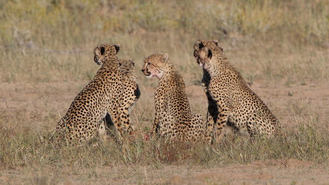 Five cheetahs in Kgalagadi Transfrontier Park in South Africa