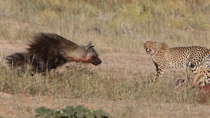 Brown hyena and cheetah in Kgalagadi Transfrontier Park in South Africa
