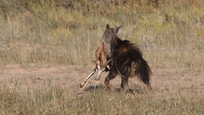 Brown hyena running with springbok kill in Kgalagadi Transfrontier Park in South Africa