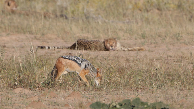Black-backed jackal and cheetah in Kgalagadi Transfrontier Park in South Africa
