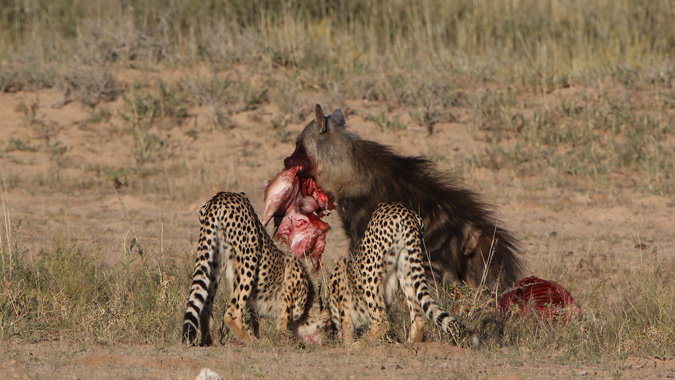 Brown hyena taking kill from cheetahs in Kgalagadi Transfrontier Park in South Africa