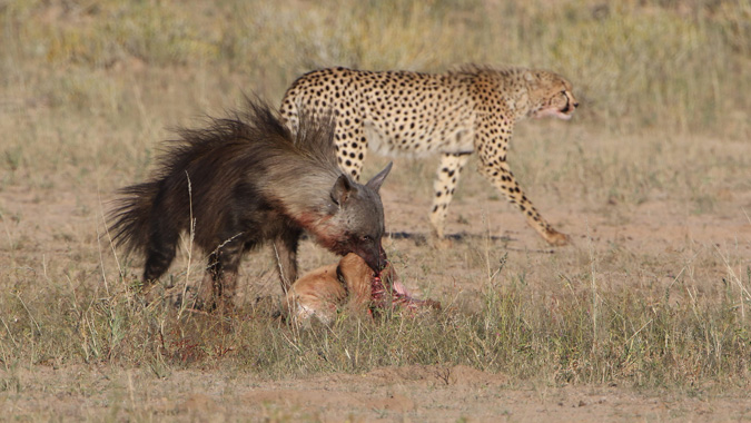 Cheetah, hyena with springbok carcass in Kgalagadi Transfrontier Park in South Africa