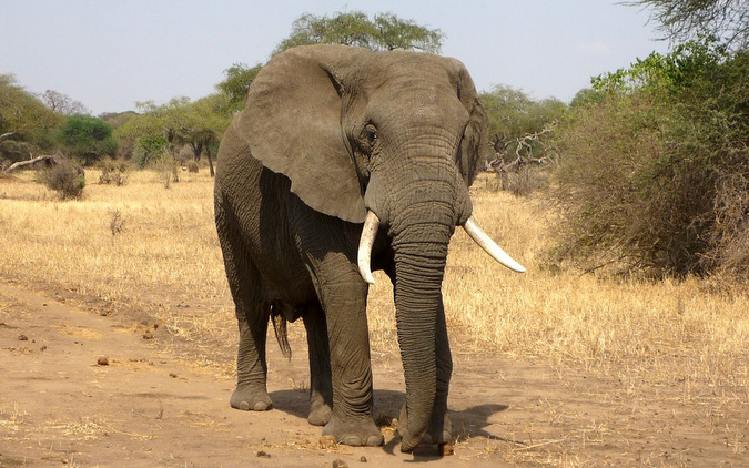 African elephant, trophy hunting, USA