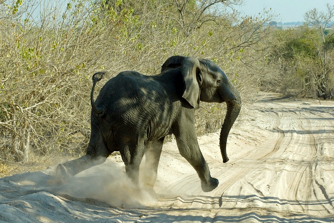 Young elephant crossing dirt road at high speed