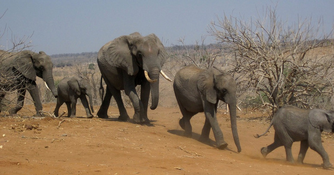 Elephant herd making their way through arid environment