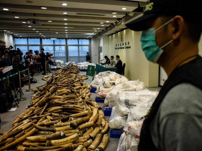 Custom officials with large seizure of elephant tucks in Hong Kong