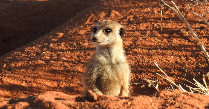 Meerkat in a burrow in Tswalu Kalahari Private Game Reserve, South Africa