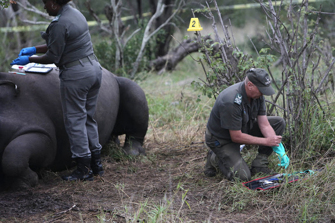 Two forensics perform autopsy of poached rhino in Kruger National Park in South Africa