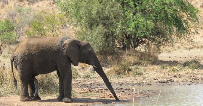 Elephant bull drinking water at Punda Maria, Kruger National Park, South Africa
