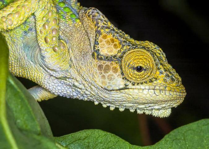 A Knysna dwarf chameleon