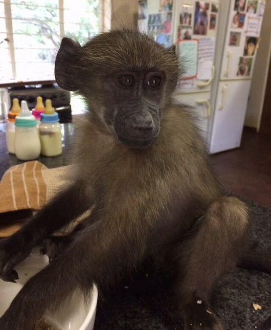 Baby orphan chacma baboon