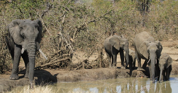 Elephant herd at waterhole in Punda Maria, Kruger National Park, South Africa