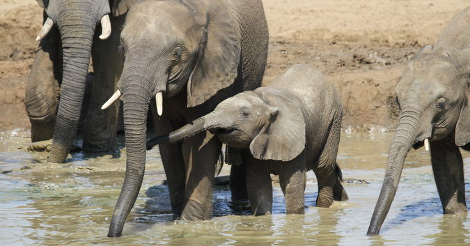 Baby elephant with mother at waterhole in Punda Maria, Kruger National Park, South Africa