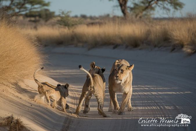 Lioness and her two cubs in Kgalagadi Transfrontier Park in Botswana