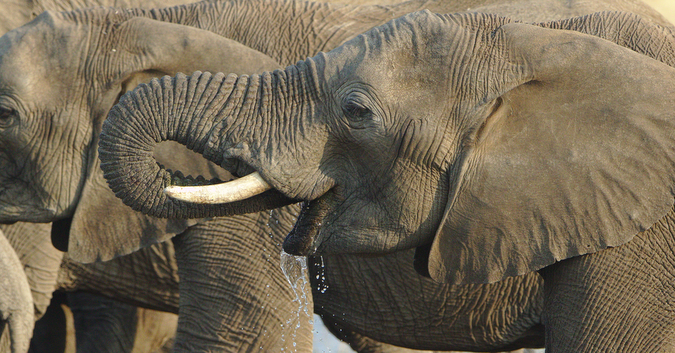 Elephant drinking water at waterhole in South Africa