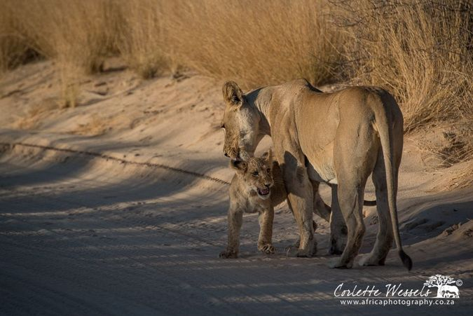 Lioness and her cub in Kgalagadi Transfrontier Park in Botswana