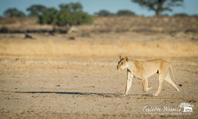 Lioness searching for cub in Kgalagadi Transfrontier Park in Botswana