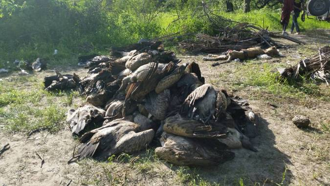 Heap of dead vultures killed via poisoning in WMA, Ruaha, Ruaha Carnivore Project