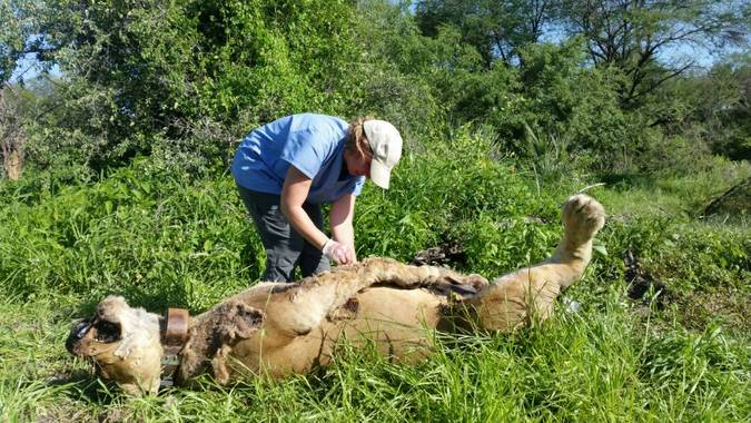 Person inspecting dead lion killed from poison in WMA, Ruaha, Ruaha Carnivore Project