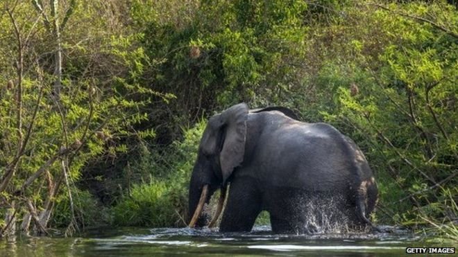 African elephant in DR Congo