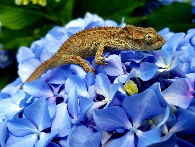 A baby Knysna dwarf chameleon