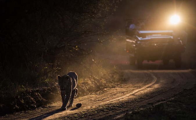 Game drive vehicle following leopard on the road with spotlight in Sabi Sabi Game Reserve