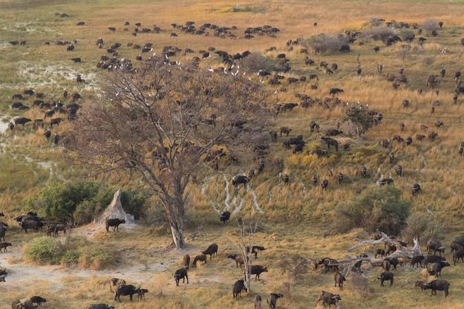 Buffalo in Okavango Delta, Botswana