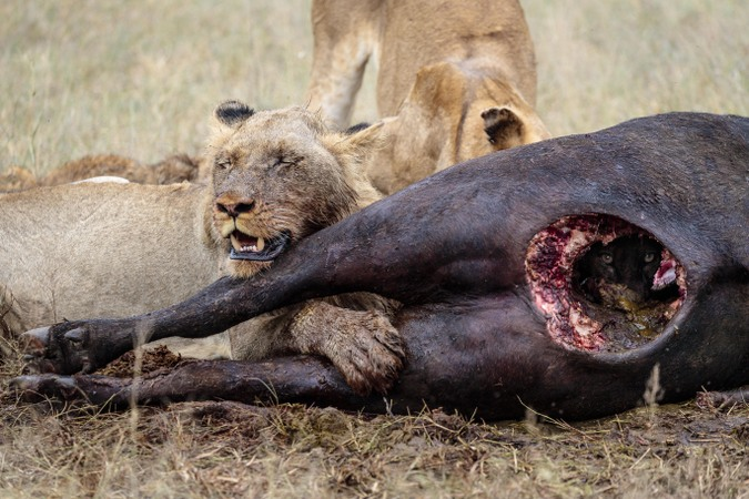 Lions eating a buffalo carcass in Timbavati, Greater Kruger National Park, South Africa
