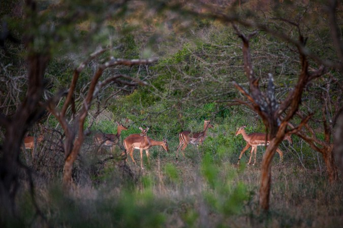 Herd of impala in Manyoni Private Game Reserve, South Africa