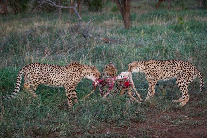 Three cheetah with impala kill in Manyoni Private Game Reserve, South Africa