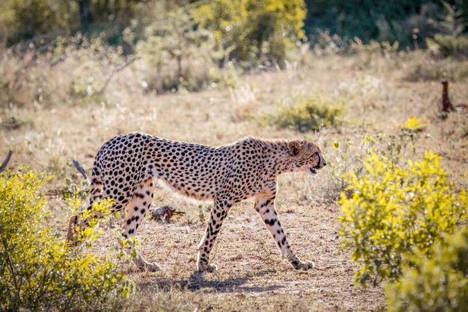 Cheetah walking in Manyoni Private Game Reserve, South Africa