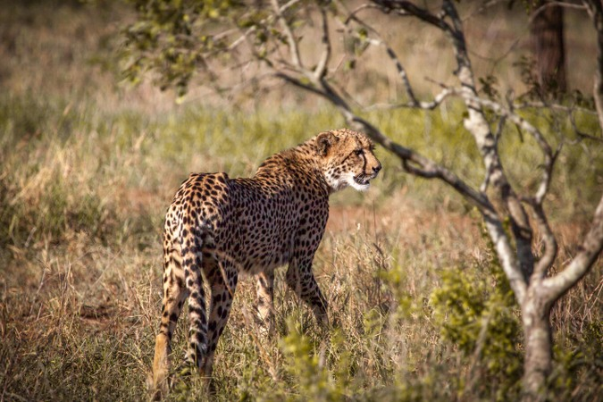 Cheetah in Manyoni Private Game Reserve, South Africa